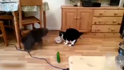 Salatalıktan korkan kediler