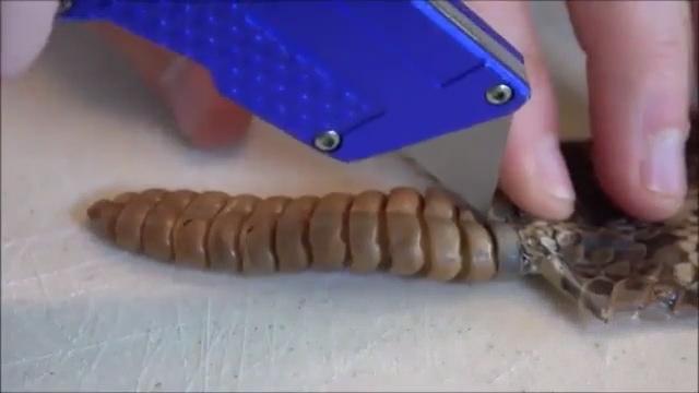 Çıngıraklı yılanların kuyruklarında ne vardır?