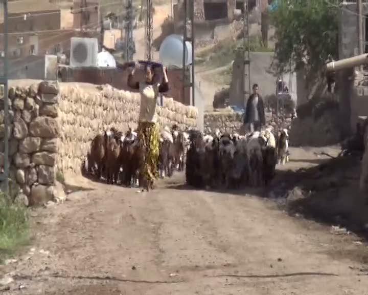 15 günde 250 koyunu telef olan köylüler şokta