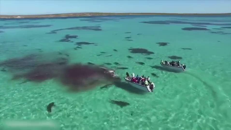 Köpek balıkları dev balinayı böyle parçalayıp yedi!