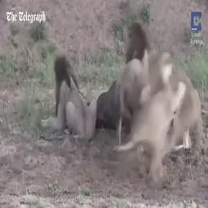 Bufalo 5 aslan'dan böyle kaçtı!