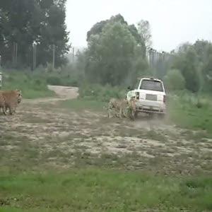 İzleyenler eğlendirmek için kaplanlar canlı inek atıyorlar!