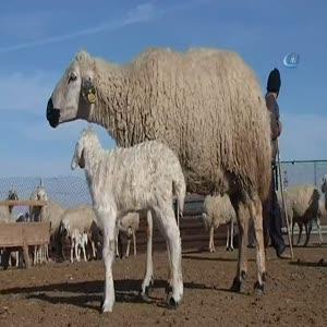 Aksaraylı çobanların evlenememe isyanı