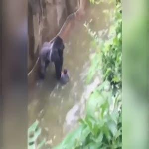 Dev gorilin kafesine 4 yaşında çocuk düştü
