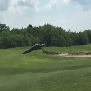Golf sahasında dolaşan dev timsah herkesi şaşırttı