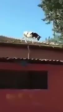Adana'da çatıdan çatıya atlayan inek