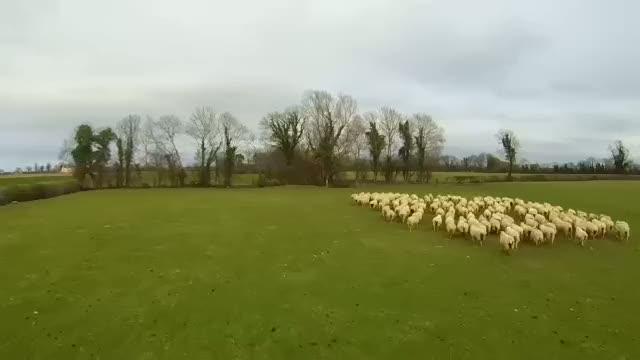 Çoban köpeği dronelar