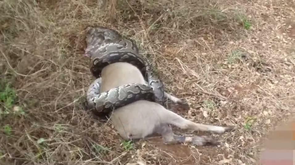 Avladığı antilobun boynuzları dev yılanın boğazını parçaladı!