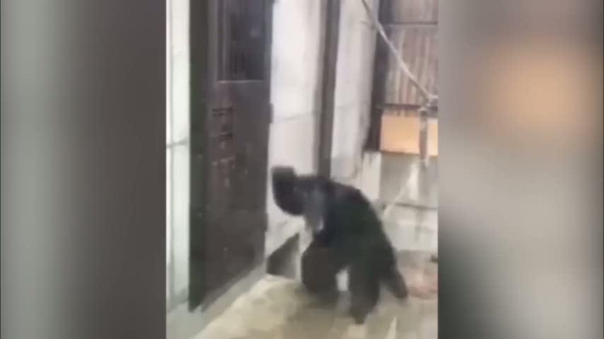 Tuvaleti gelen maymun sinirlenmiş