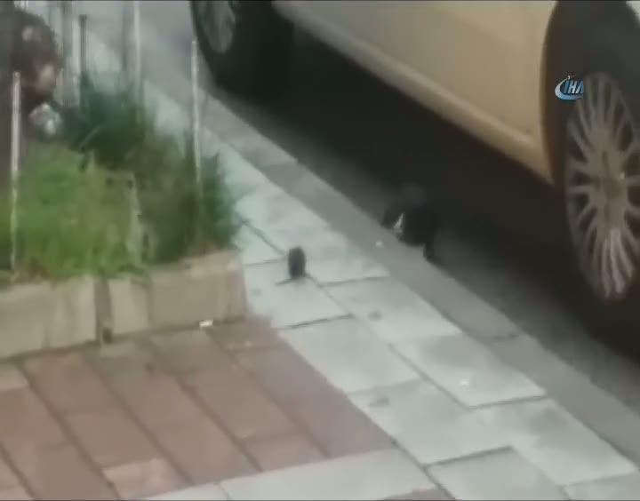 Kedinin fare ile oyunu kameralara yansıdı
