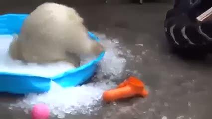 Yavru kutup ayısının ilk defa buzla buluşma anı