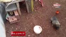 Yavru kedi ile kurt köpeğinin kıskandıran dostluğu
