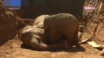 Yavru filin annesi için verdiği göz yaşartan mücadele