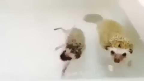 Yüzmeyi seven kirpiler suda dans etti