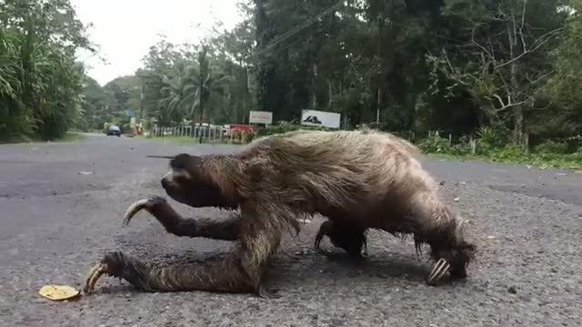 Dünyanın en tembel hayvanı böyle görüntülendi