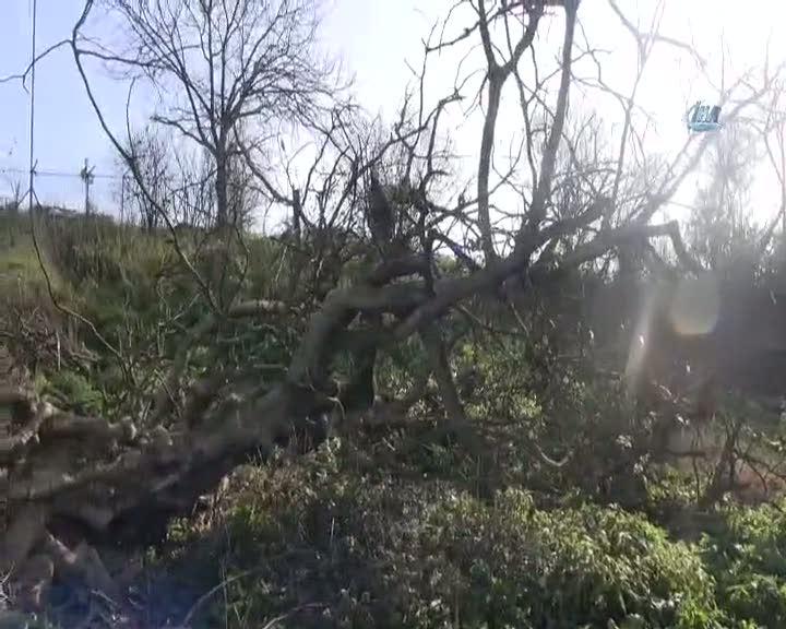 Kestiği ağacın altında kaldı