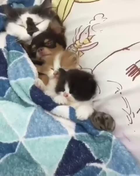 Kedileri uyutan fare temizlik yaptı