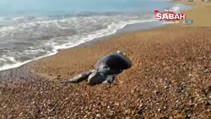 Antalya'da sahile Caretta Caretta ölüsü vurdu