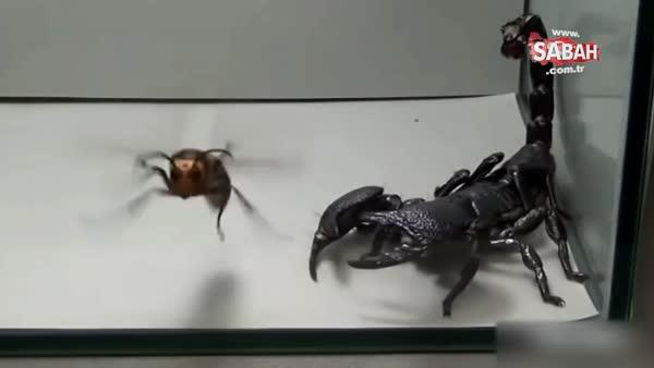 Eşek arısı ve kara akrebin kavgası