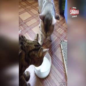 Sütü paylaşamayan çılgın kediler!
